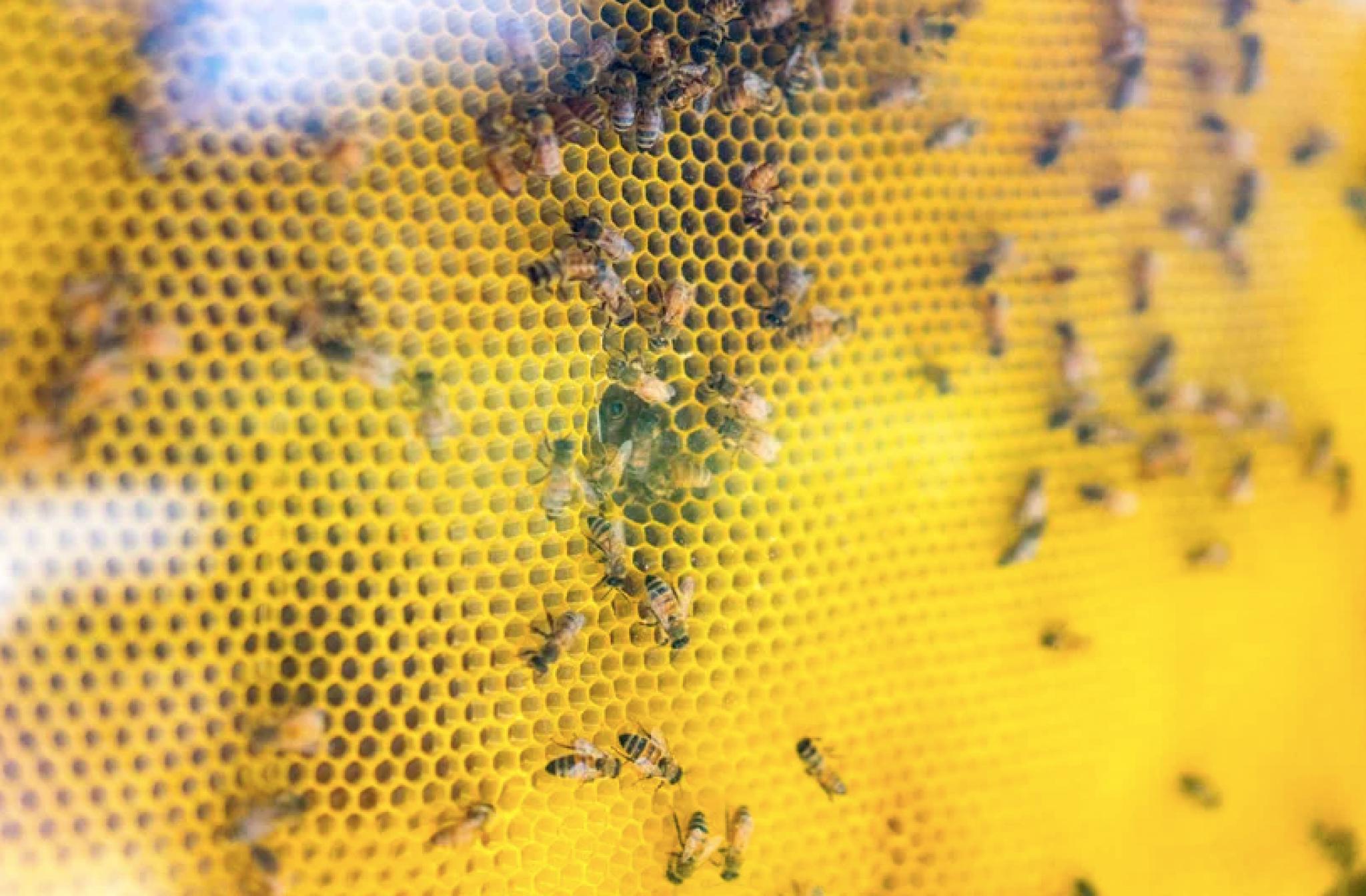 przerażający pszczoły w penisie przeciętny penis męski